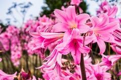 Nackt-Damen Amaryllis-Tollkirschenlilien stockfoto