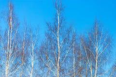 Nackte Birkenzweige gegen den blauen Himmel Stockbild