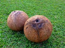Nackte Kokosnüsse Stockbild