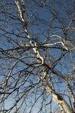 Nackte Niederlassungen der Birke auf dem Hintergrund des blauen Himmels Frühling Lizenzfreies Stockbild