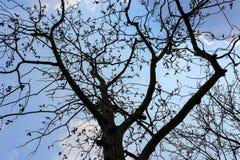 Nackte Niederlassungen eines Baums gegen Abschluss des blauen Himmels oben Lizenzfreies Stockfoto