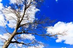 Nackte Niederlassungen eines Baums gegen blauen Himmel mit Wolkenabschluß oben Stockfotografie