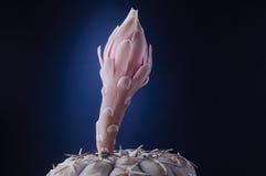 Nacktes Blumenblumenblatt des Gymnocalycium stellatum Kinnkaktus gegen d Lizenzfreie Stockfotos
