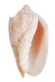 Nacre mollusk ocean Stock Photography