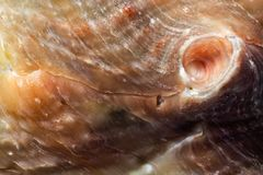 Nacre naturelle de haliotis de coquille photographie stock libre de droits