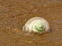 Nacreous snäckskal i havswave. Arkivbild