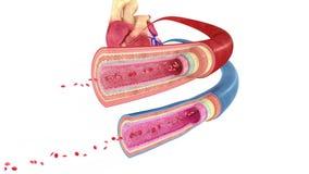 Naczynie krwionośne royalty ilustracja