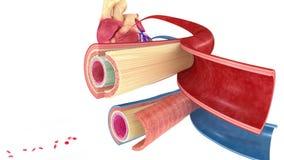 Naczynie krwionośne ilustracji