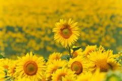 nad łąka jeden słoneczniki Obraz Royalty Free