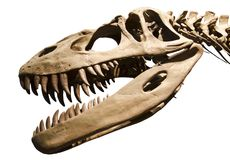 Nad biały odosobnionym tłem dinosaura kościec Fotografia Royalty Free