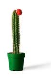 nad biel kaktusowy tła flowerpot Zdjęcie Stock