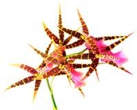 nad biel kwiatonośna orchidea Fotografia Stock
