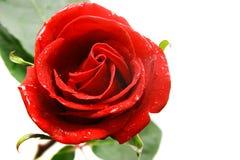 nad czerwieni róży biel Obraz Royalty Free