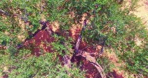 Nad drzewo oliwne zdjęcie wideo