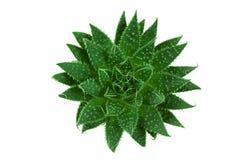 nad kaktus zieleń obraz royalty free