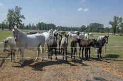 NAD Labem Kladruby, τσεχική φυλή αλόγων, άσπρα εξημερωμένα άλογα Starokladruby και foals στο λιβάδι κατά τη διάρκεια της καυτής θ στοκ εικόνες με δικαίωμα ελεύθερης χρήσης