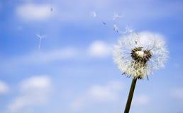 nad niebem błękitny dandelion Fotografia Stock