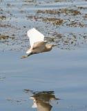 Nad płytką wodą czapli Squacco latanie Fotografia Royalty Free