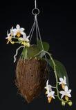 nad phalaenopsis czarny hybrydowa orchidea Obrazy Stock