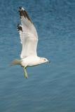 nad seagull latający jezioro Obraz Royalty Free