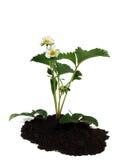 nad truskawkowym roślina biel Fotografia Stock