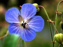 Nad van de bloem een insect 2 Stock Foto's