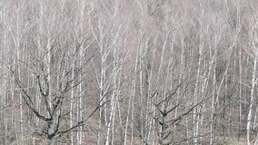 Nad widok nagi czarny d?bowy drzewo w brzoza lesie w wio?nie zbiory