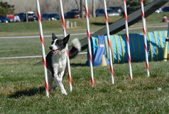 NADAC Dog Agility: Weave poles royalty free stock photo