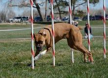NADAC psa zwinność: Bokser zdjęcie royalty free