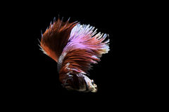 Nadada beta de los pescados en fondo negro Fotos de archivo libres de regalías