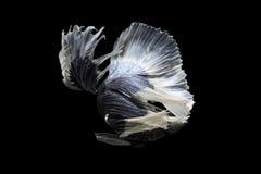 Nadada beta de los pescados en fondo negro Fotografía de archivo libre de regalías