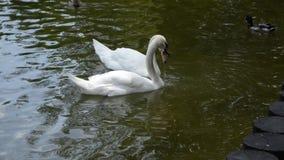 Nadada blanca de dos cisnes en un lago del bosque idilio almacen de metraje de vídeo