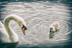 Nadada branca da cisne da mãe com seu filtro novo, análogo imagens de stock royalty free