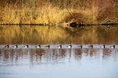 Nadada copetuda de los patos en una cola Imagenes de archivo