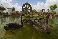 Nadada da cisne preta com os peixes do koi no jardim com watermill Fotos de Stock Royalty Free