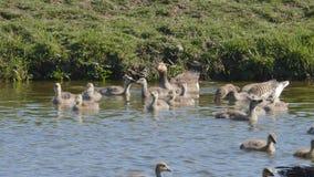 Nadada da família dos gansos dentro vídeos de arquivo