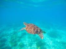 Nadada da tartaruga verde na água do mar azul Mergulhar com tartaruga imagem de stock