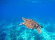 Nadada da tartaruga verde na água do mar azul Mergulhar com tartaruga imagem de stock royalty free