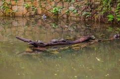 Nadada das tartarugas de mar no parque da água fotografia de stock