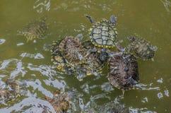 Nadada das tartarugas de mar no parque da água fotos de stock royalty free