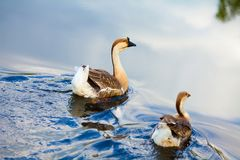 Nadada de dois gansos através da água foto de stock