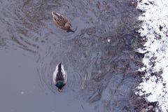 Nadada de dois patos ao longo do rio na primavera há neve no banco de rio fotografia de stock royalty free