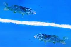 Nadada de dois peixes em um líquido azul imagem de stock