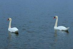 Nadada de dos cisnes en una charca Foto de archivo