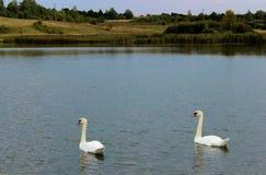 Nadada de dos cisnes en una charca Fotos de archivo libres de regalías