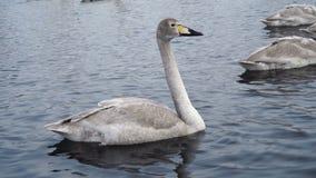 Nadada de la familia de los cisnes en el lago Primer gris joven del cisne Aves migratorias en el invierno 4k metrajes