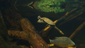 Nadada de la tortuga y de los pescados en una cala metrajes