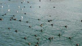 Nadada de las aves marinas en el mar metrajes