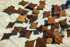 nadada de los Calambre-pescados Foto de archivo libre de regalías