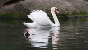 Nadada de los cisnes en el lago almacen de metraje de vídeo